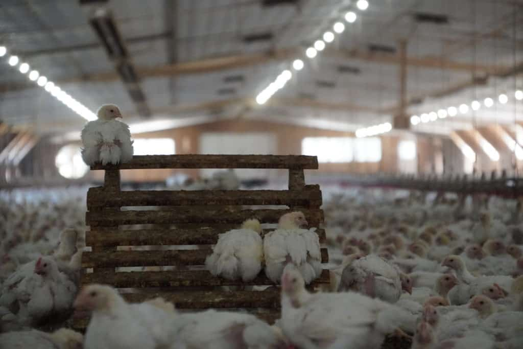 enhancements in chicken houses for animal welfare